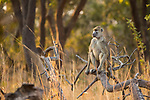 Yellow Baboon (Papio cynocephalus) keeping watch, Kafue National Park, Zambia