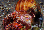 Stareye Hermit Crab leaving safety of it's borrowed shell.