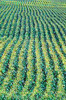 corn plant rows California