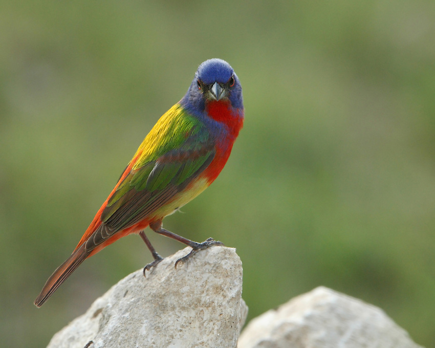 Painted Bunting male on a native rock perch, Central Texas.