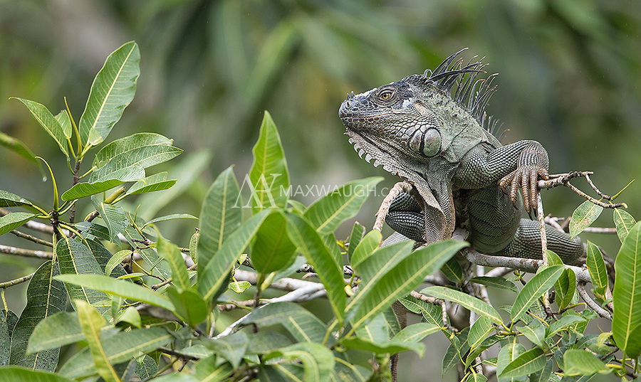 Green iguanas are often seen perched high in trees.
