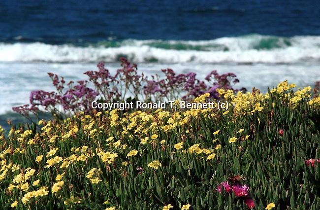 Wild Flowers Pacific Ocean La Jolla California, California Fine Art Photography by Ron Bennett,