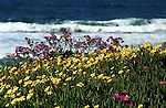 Wild Flowers Pacific Ocean La Jolla California, California Fine Art Photography by Ron Bennett,