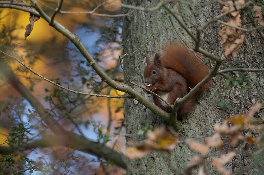 Red Squirrel (Sciurus vulgaris), Klampenborg Dyrehave, Denmark