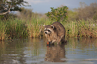 Northern Raccoon (Procyon lotor), adult in water eating Crayfish, Crawfish (Astacidae), Sinton, Corpus Christi, Coastal Bend, Texas, USA