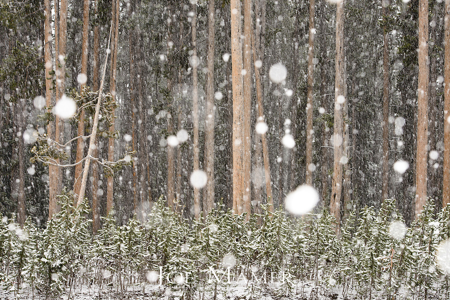 Heavy snow at a stand of conifer forest in Yellowstone National Park after June snowfall.