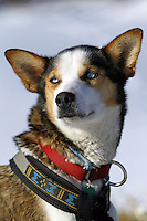 Saturday March 10, 2012 Aliy Zirkle's dog, Olivia, at the Kaltag checkpoint. Iditarod 2012.