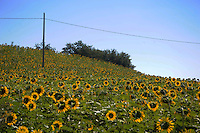 Campo di girasoli.Sunflower field.