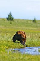 Alaska Brown Bear, Coastal Grizzly Grizzly Bear or brown bear alaska Alaska Brown bears also known as Costal Grizzlies or grizzly bears