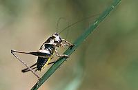 Gewöhnliche Strauchschrecke, Männchen, Pholidoptera griseoaptera, Thamnotrizon cinereus, dark bushcricket, male