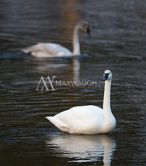 Trumpeter swans hang out in the Madison River.