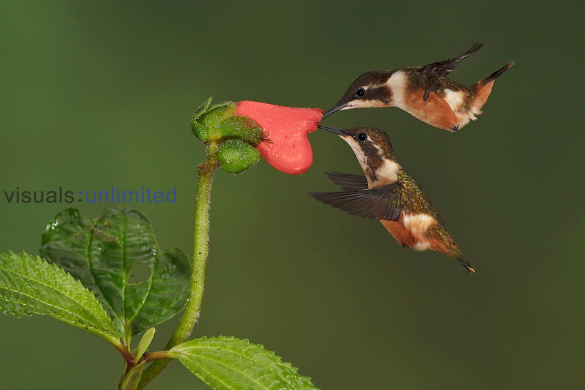 Purple-throated Woodstar Hummingbirds (Calliphlox mitchellii) hovering and nectaring at a red tubular flower, Tandayapa Valley, Ecuador.