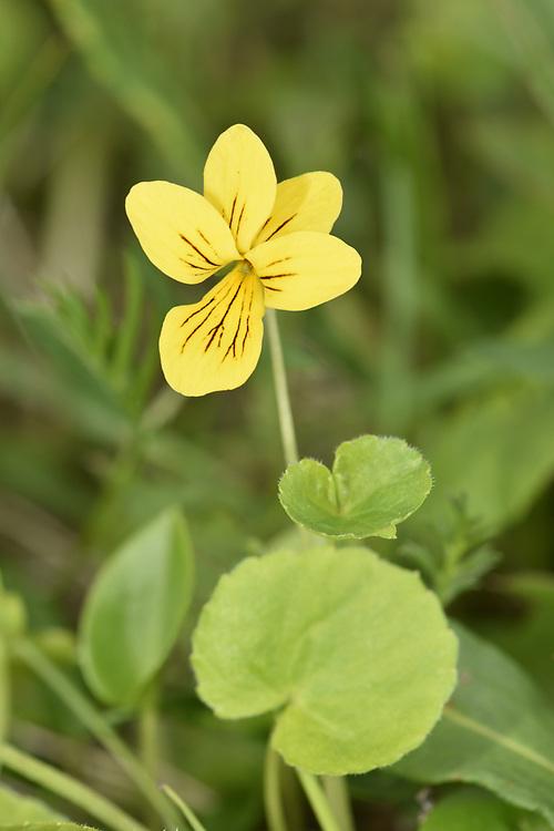 Arctic Yellow-violet - Viola biflora