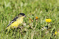 Finch - Lesser Goldfinch