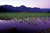 Hanalei Valley taro fields, young taro, Hanalei National Wildlife Refuge, north shore, Kauai. Habitat for endangered waterbirds. Early morning.