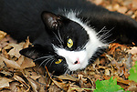 Spooky the cat laying in the leaves, PA