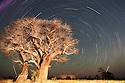 Botswana, Nxai Pan National Park, Kalahari, Baobab trees at night with star trails, long exposure image, artificially illuminated with spotlight
