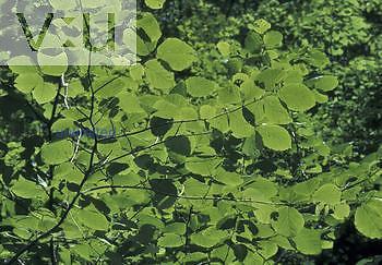 Photosynthesis, sunshine through the leaves of Witch-Hazel ,Hamamelis virginiana,, North America.