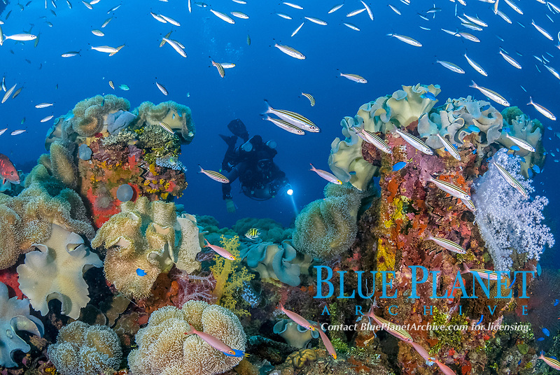 Diver, rebreather, coral reef senic, Neon Damselfish, Pomacentrus coelestis, Threestripe Fusilier, Pterocaesio trilineata, Rudy Fusilier, Pterocaesio pisang, soft coral, Mushroom Coral, Leather Coral, Sarcophyton sp, Tree coral, Dendronephthya sp, Zigzag oyster, Cock's Comb Oyster, Lopha cristagalli, Operation Hailstone, Wreck, WWII, Japanese shipwreck, Fujikawa Maru, Truk, Chuuk Lagoon, Micronesia, Pacific Ocean, MR