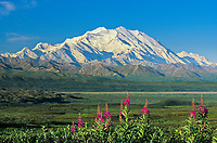 Summer landscape of 20, 3020+ ft. Mt. Denali  pink fireweed, Denali National Park, Alaska
