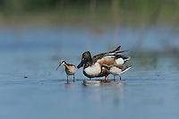 Northern Shoveler (Anas clypeata), male feeding with Wilson's Phalarope (Phalaropus tricolor), Dinero, Lake Corpus Christi, South Texas, USA