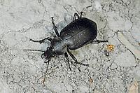 Goldpunkt-Puppenräuber, Goldpunktierter Puppenräuber, Calosoma maderae, Calosoma auropunctatum, Calosoma maderae auropunctatum, Campalita maderae, ground beetle