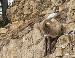 A bighorn sheep prepares to jump from a cliff ledge in Yellowstone National Park in Wyoming, USA, on Feb 4Th 2015. Photo by Gus Curtis.