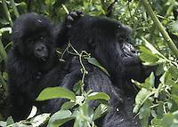 Rwanda-Mountain Gorillas