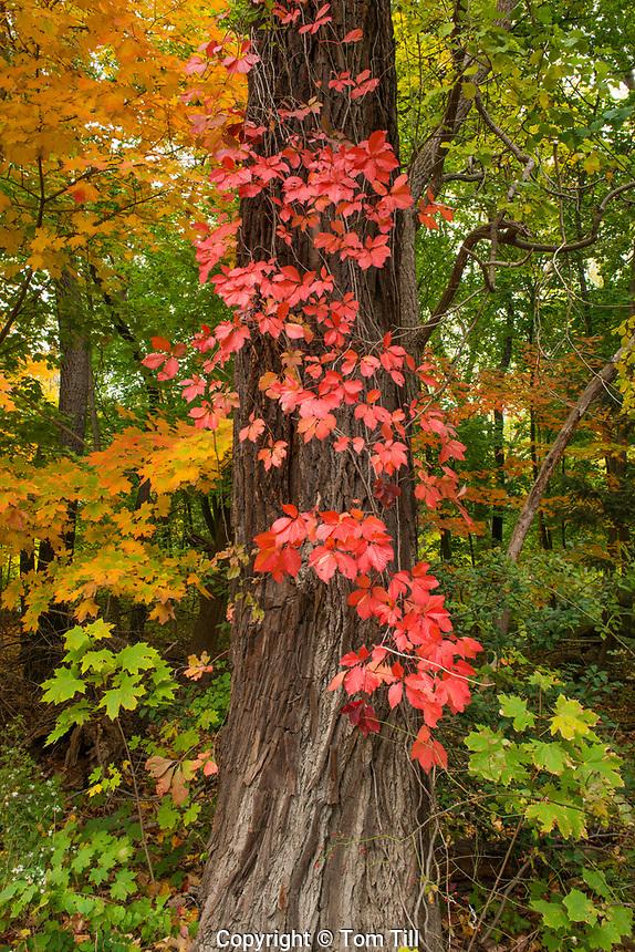 Virginia Creeper, Abram S. Hewitt State Forest, New Jersey  Near
