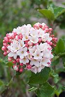 Viburnum x carlcephalum 'Cayuga' shrub in bud & bloom in spring flower