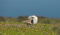 Houbara Bustard - Chlamydoyis undulata fuertaventutae - male displaying