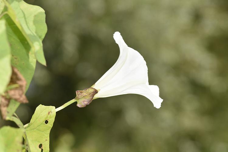 Hedge Bindweed - Calystegia sepium