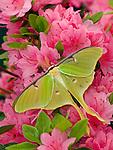 Luna moth (Actias luna) on azalea