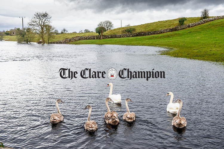 A swan family explore their newly created stomping ground in a flooded farmland near Kiltartan in South Galway. Photograph by John Kelly.