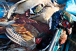 Pix: Shaun Flannery/shaunflanneryphotography.com...COPYRIGHT PICTURE>>SHAUN FLANNERY>01302-570814>>07778315553>>..19th December 2009................Brodsworth Shoot..Dead Pheasant.