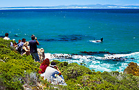 Suedafrika, Suedliches Kap, Hermanus: Wale beobachten - Touristenattraktion September bis Oktober in der Walker Bay | South Africa, Southern Cape, Hermanus: Whale watching, September-October at Walker Bay