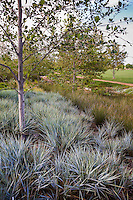 Leymus condensatus 'Canyon Prince' - Giant Wild Rye with rush, Juncus polyanthemos in urban park groundcover landscape design meadow garden, Jeffrey Open Space, Irvine California