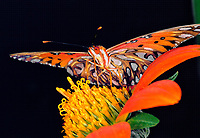 341850027 a captive gulf fritillary agrualis vanillae feeds on a flower in a butterfly house in santa barbara california