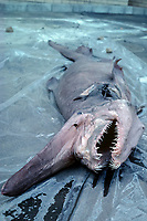 goblin shark, Mitsukurina owstoni, specimen, Japan