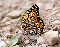 Edwards's Fritillary