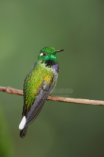 Purple-bibbed Whitetip (Urosticte benjamini), male perched,Mindo, Ecuador, Andes, South America