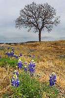 Bluebonnets in Texas are just beginning to sprout in the early days of an extra cold spring.