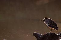 Immature Black-crowned Night Heron (Nycticorax Nycticorax)..May, Winter 2009..Ndumo Game Reserve, Kwazulu-Natal, South Africa.