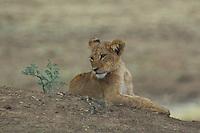 LIon Cub in the Okavango Delta, Botswana Africa,