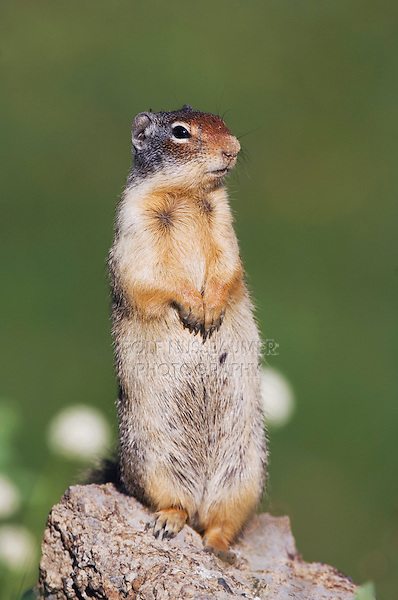 Columbian Ground Squirrel,Spermophilus columbianus, adult standing alert, Logan Pass, Glacier National Park, Montana, USA