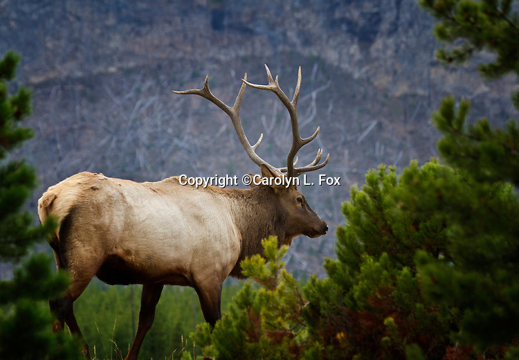 A bull elk walks around in Yellowstone National Park during the rut season.