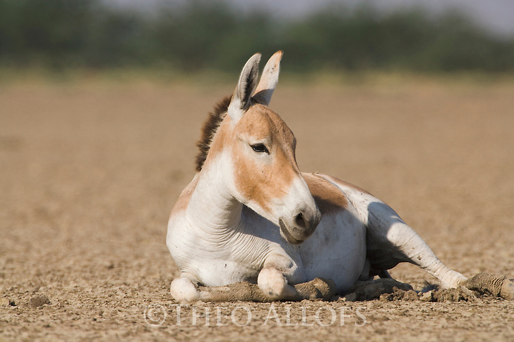 Indian wild ass (Equus hemionus khur) resting in vast dry clay pan in mid day heat; pan is flooded during monsoon<br /> The Indian wild ass's range once extended from western India, through Sind and Baluchistan, Afghanistan, and south-eastern Iran. Today, its last refuge lies in the little Rann of Kutch and its surrounding areas of the Greater Rann of Kutch in the Gujarat province.