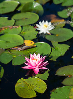 Pink water lilly flower.