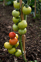 Staked tomatoes ripening in a Cambridgeshire allotment.