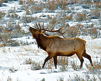 Bull elk signals a warning with his arched neck and antler display.